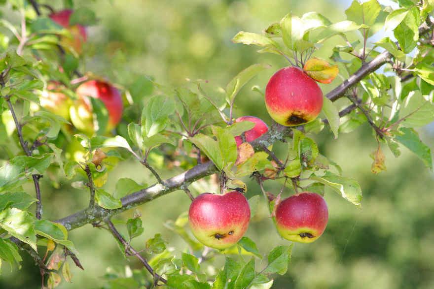 Deutlich geringere Apfelernte erwartet