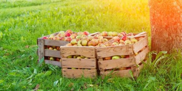 Safter erwarten reiche Apfelernte